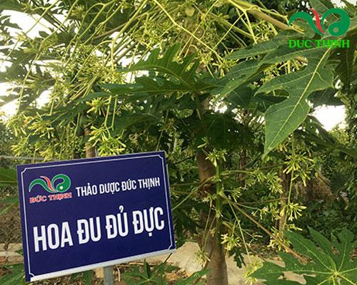 (Cây đu đủ đực được trồng tại vườn thuốc Đức Thịnh)