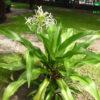 cây náng hoa trắng