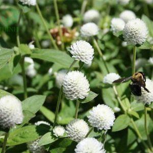 Cây nở ngày đất thảo dược Đức Thịnh trồng tại vườn