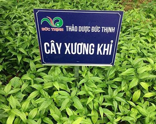 cây xương khỉ tại vườn thuốc đức thịnh