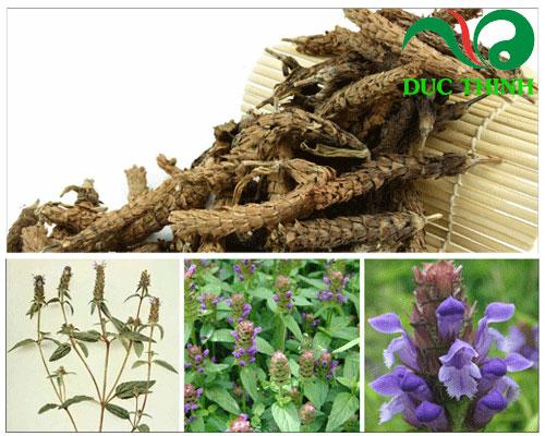 Hạ khô thảo hỗ trợ điều trị bệnh cao huyết áp