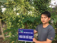 Hoa đu đủ đực tại vườn thuốc nam Đức Thịnh