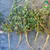 rễ cây nở ngày đất